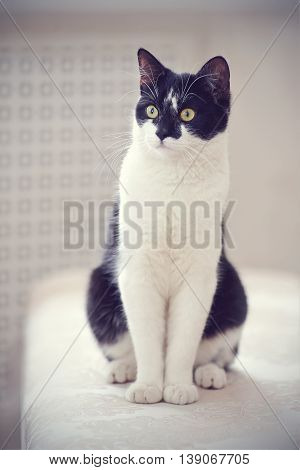 The surprised domestic cat of a black-and-white color sits
