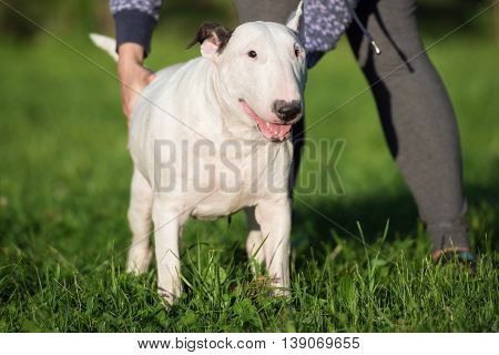 white english bull terrier dog posing outdoors