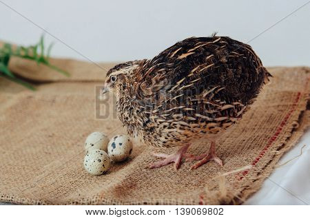 The Young Quail And Eggs On Sack Cloth, On A White Background