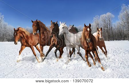 the snow quickly herd of horses galloping