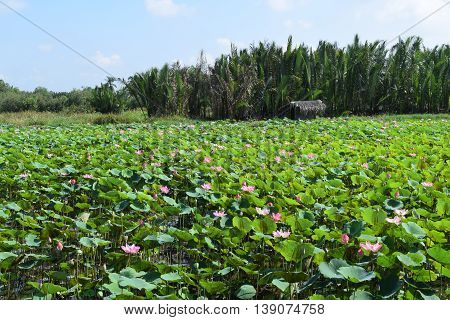 lotus field and hut in Vietnam countryside