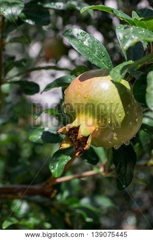 The ripening pomegranate fruit growing on a tree on a background of green tree branches. Growing summer pomegranate. Vertical. Daylight. Close-up.