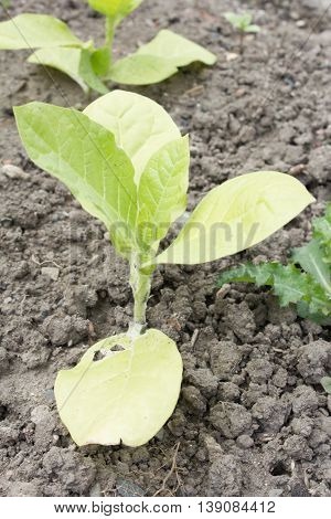 American Tobacco (nicotiana Tabacum). He Is The Most Economically Important Nature Of The Tobacco In