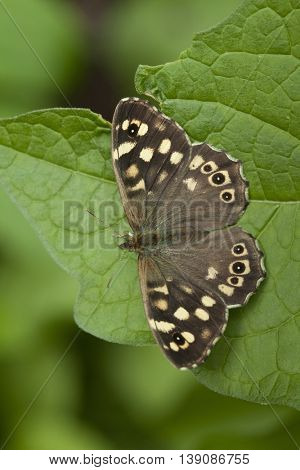 Speckled wood butterfly close up