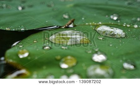 Raindrops on green lotus leaf. Partly focused.