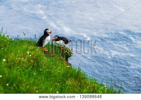 Atlantic Puffin standing on a cliff at Latrabjarg the westernmost point in Iceland