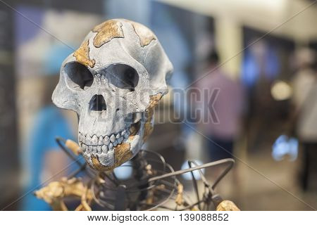 Lucy skeleton a female of the hominin species Australopithecus afarensis
