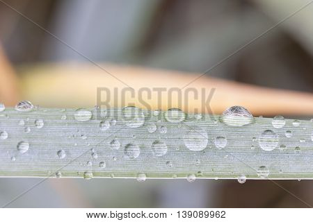 Water bubbles or rain drops on a light green plant leaf