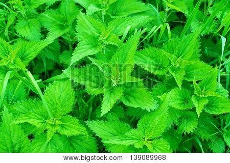 nettles growing in the meadow  herbal, leaf