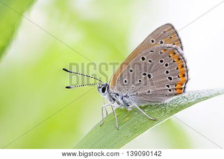 Closeup of a brownish orange butterfly on a green plant leaf