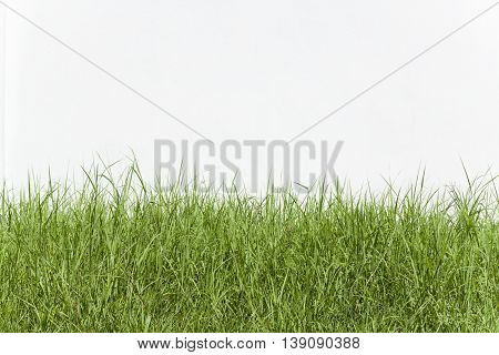 Grass with a white wall background .