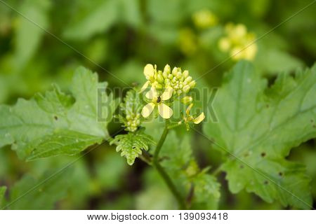 White Mustard (sinapis Alba). It Provides A Spice Plant One Of The Raw Materials Of The Mustard Cond