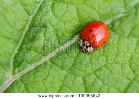 Macro of ladybug crawling on a leaf.