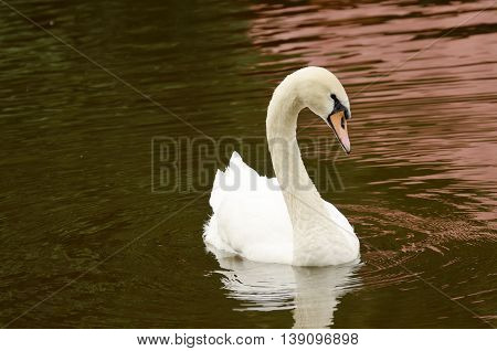 Swan is an elegant bird. floats on the water in the lake.