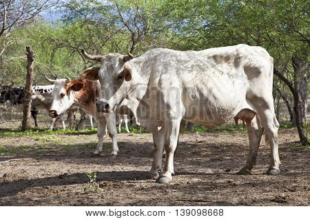 Close up of a white and brown charolais cow behind barbed wire
