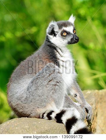 Portrait of a ring-tailed lemur ( Lemur catta )