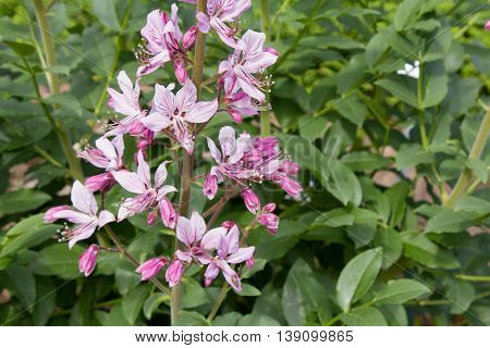 Pink Diptam (dictamnus Albus) In The Garden