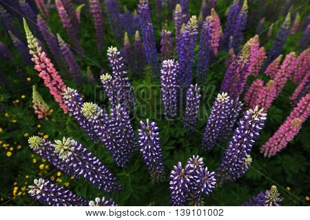 Lupine Flowers. View From The Top.