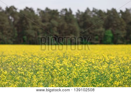 Yellow blooming rapeseed field with forest as a background.