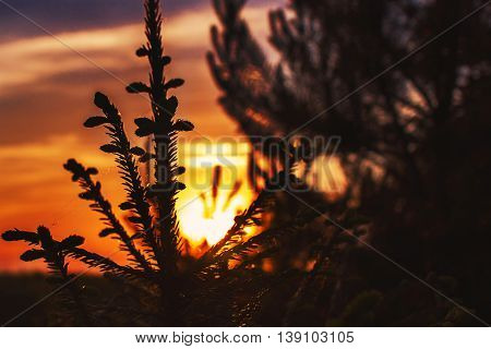 silhouette of branches of spruce on sunset close