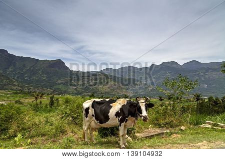View of the Western Ghats from Kanthalloor, a village near Munnar, Kerala, India - with a cow in the foreground