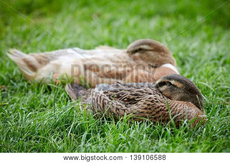 Ducks Sleeping In The Green Grass With The Heads Stuck In The Feathers.