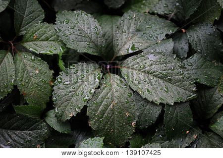 Wild ivy leaves with water drops overhead view