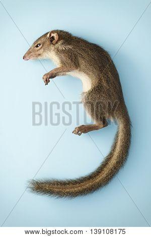 squirrel asia stauffer creature animals blue background