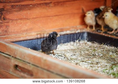 Little Chicks In The Stable On The Farm