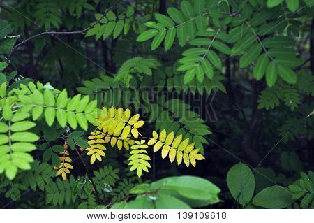 Close up of green and yellow rowan tree leaves