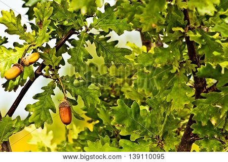 Green oak leaves and acorns on branches