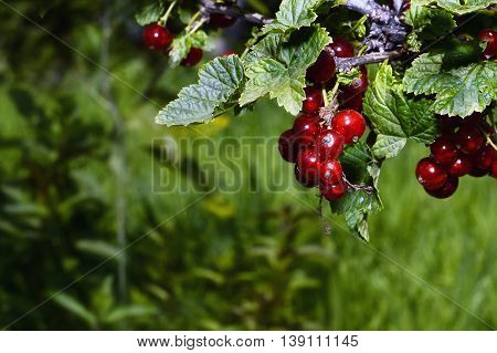 Bunches of red currant on a branch close up in the garden.