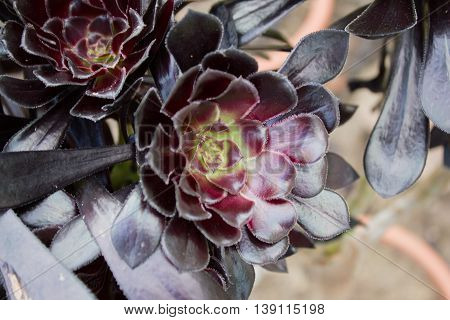 Aeonium arboreum  'Zwartkop' in black, close up