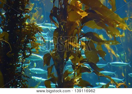 Kelp Plant Forest and a school of fish taken underwater in the cold waters of the Pacific Ocean at the California Coast