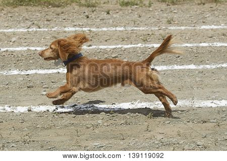 Long haired Dachsund in race in the Rathdrum Idaho.