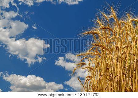Wheat growing on field. Ripe wheat ears on blue sky background