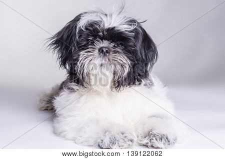 dog is man's best friend Shih Tzu on white background