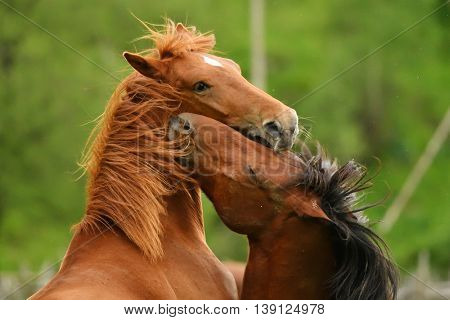 Beautiful horses playing outdoor in summer