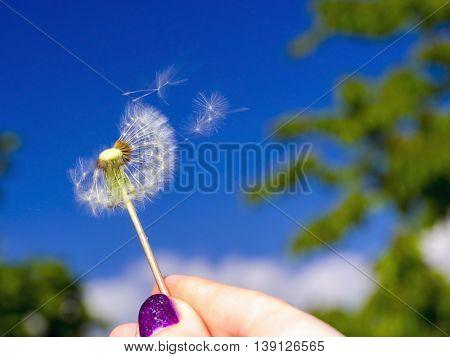 Blowing A Dandelion Head