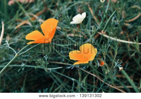 California golden poppy flowers - in Latin Eschscholzia californica - in the meadow. Summer floral background with orange poppy flowers. Selective focus at the flowers