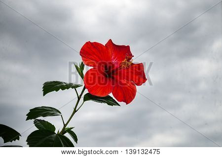 charming red hibiscus flower with stamens and pistil on a background cloudy sky