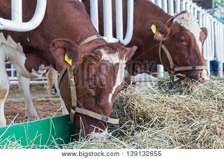 Brown and white cows in the barn. Agriculture