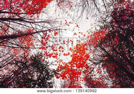 Autumn sky landscape with autumn trees with red leaves extending to the sky - cloudy autumn landscape in foggy weather.