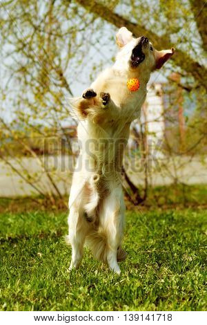funny Golden Retriever dog playing with a ball jumps and catches it on the fly stretched vertically in a jump