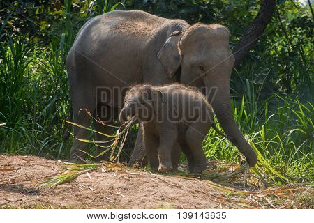 A Young Elephant Right Next To An Adult One.