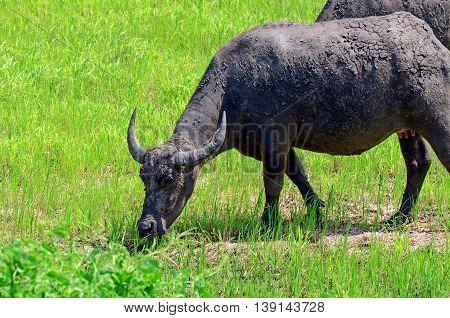 Asian Buffalos (bubalus Bubalis) In Opened Farmland.
