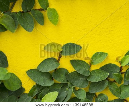 Abstract green wall of ivy gourd for background
