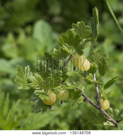 large gooseberries grow on a bush with green leaves