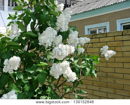 Bush blooming white lilac in brick wall of rural house on sunny day