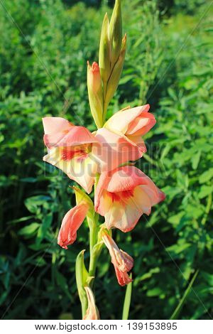 Beautiful pink gladiolus grows in the garden